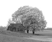 Barn Under An Elm