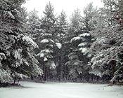 Silent Woods