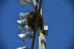 """Monk"" Parakeets on Long Island"