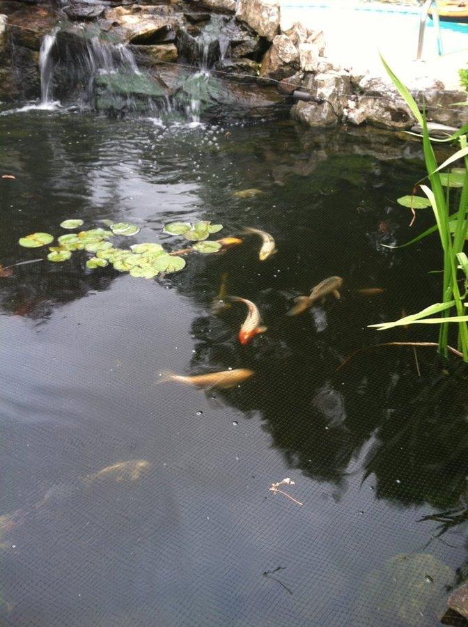 Koi ponds on long island photo gallery for Koi new york