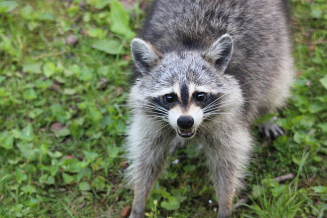 Suffolk County To Increase Rabies Monitoring In Babylon