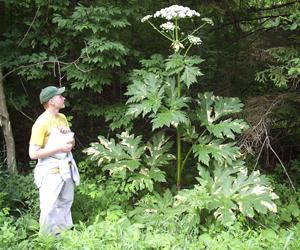 Efforts Continue To Eradicate Invasive Giant Hogweed Plants
