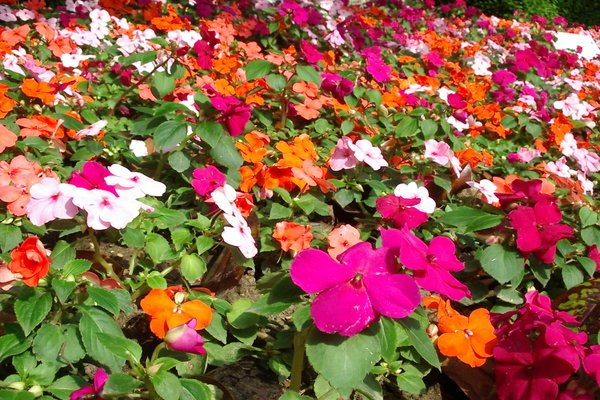 Gardeners beware popular colorful and affordable flower for Colorful low maintenance flowers