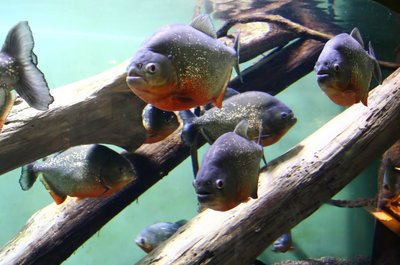 Melville Tropical Fish Importer Pleads Guilty to Smuggling Piranhas