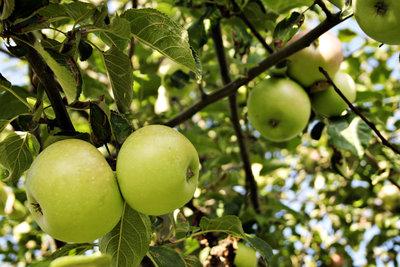 Great Apple Picking Locations On Long Island Longisland Com