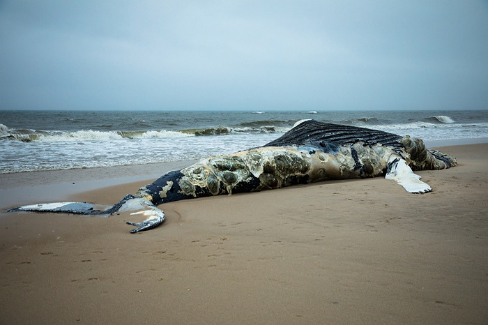Dead Humpback Whale Found on Long Beach Shore