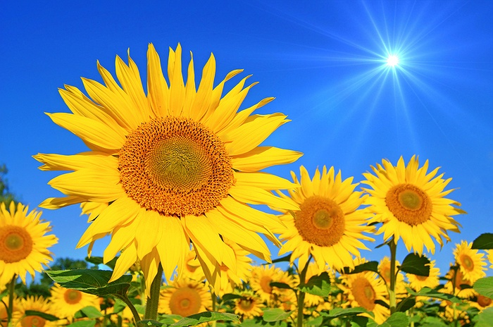 Lose Yourself In The North Fork Sunflower Maze