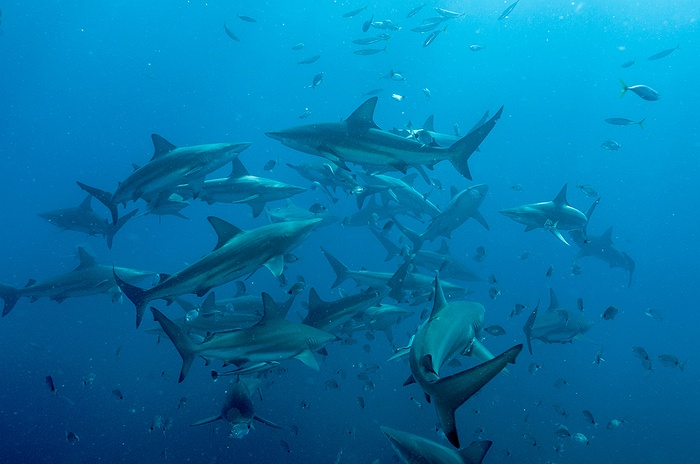 Blacktip Sharks Roaming Around the Coast of Long Island