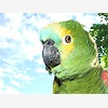 The Long Island Parrot So
