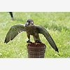 Falconry—An Ancient, but