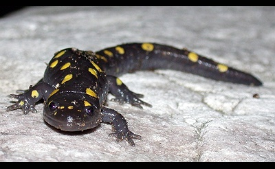 Blue-spotted Salamander Search with Andy