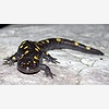 Spotted Salamander Search
