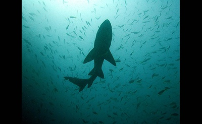 New York's Great White Shark Nursery—Research Advances & Future Plans