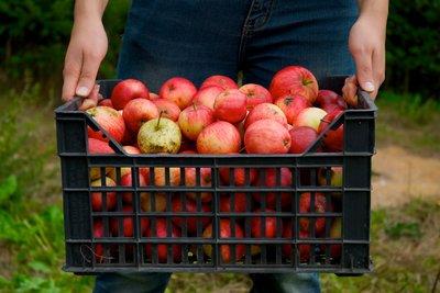 Long Island Fruit Picking